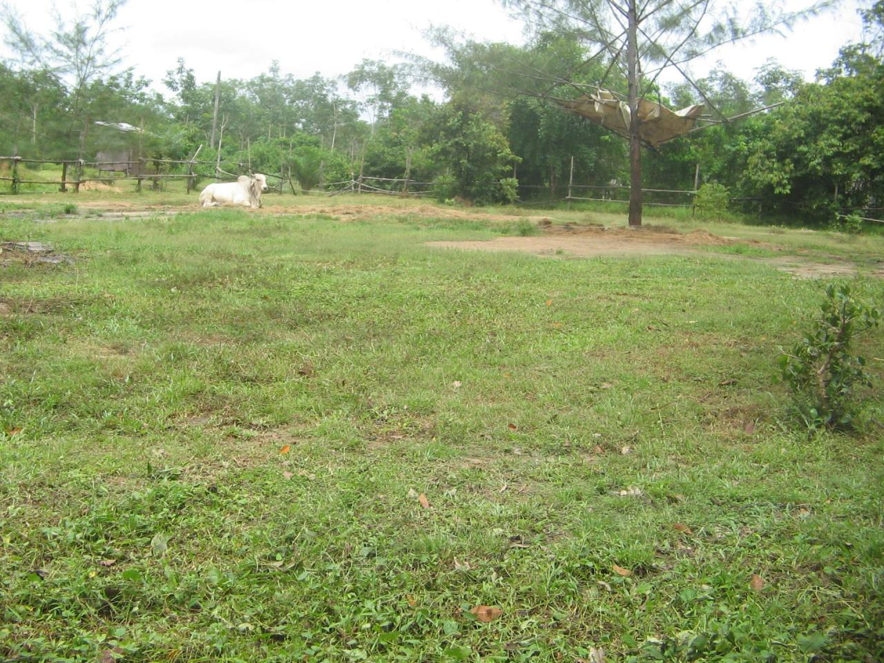 REAL Phuket  Agency's 4 Rai Flat Land in Layan - Great Value! 5
